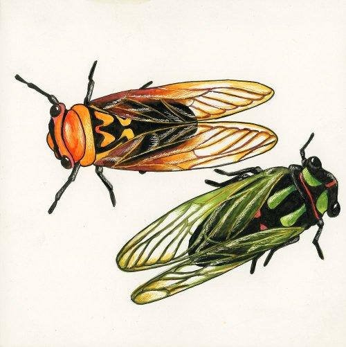 cicadas_web