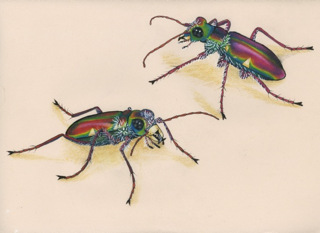 Tiger Beetles by Jessica Szabo